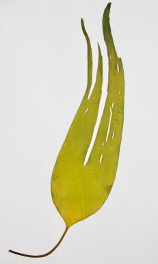 Kelp £120